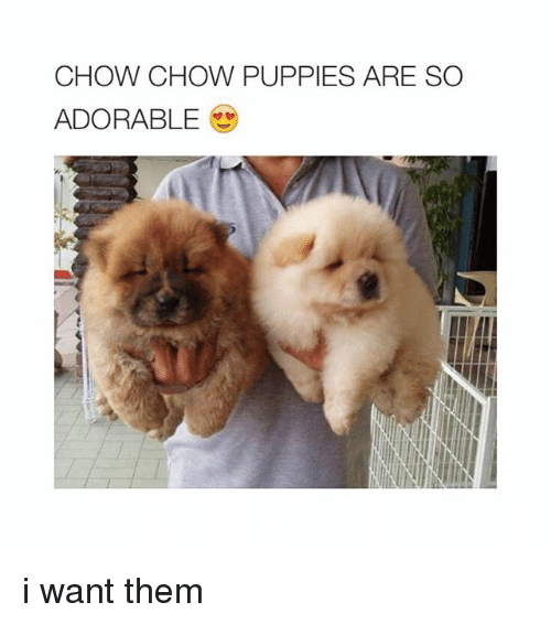 Puppies, Puppy, and Girl Memes: CHOW CHOW PUPPIES ARE SO  ADORABLE i want them
