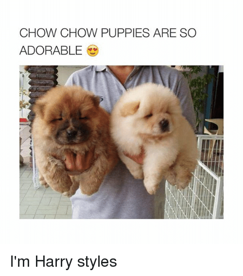 Puppies, Harry Styles, and Puppy: CHOW CHOW PUPPIES ARE SO  ADORABLE I'm Harry styles