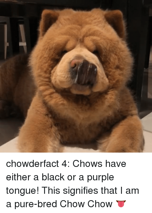 Memes, Black, and Purple: chowderfact 4: Chows have either a black or a purple tongue! This signifies that I am a pure-bred Chow Chow 👅