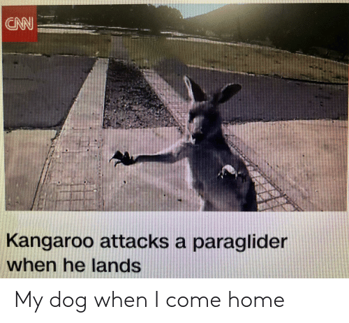 cnn.com, Reddit, and Home: CNN  Kangaroo attacks a paraglider  when he lands My dog when I come home