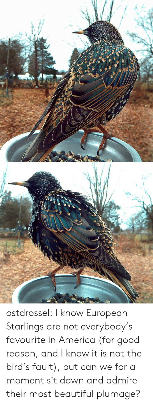 America, Beautiful, and Target: cnosse ostdrossel:  I know European Starlings are not everybody's favourite in America (for good reason, and I know it is not the bird's fault), but can we for a moment sit down and admire their most beautiful plumage?
