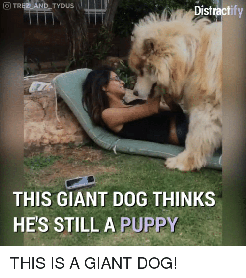 Distracte: CO TR  AND TYDUS  Distract  THIS GIANT DOG THINKS  HE'S STILL A  PUPPY THIS IS A GIANT DOG!