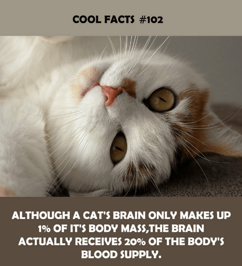 Cool Facts: COOL FACTS #102  ALTHOUGH A CAT'S BRAIN ONLY MAKES UP  1% OF IT'S BODY MASS,THE BRAIN  ACTUALLY RECEIVES 20% OF THE BODY'S  BLOOD SUPPLY.