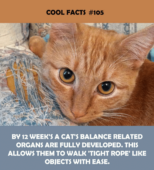 Cool Facts: COOL FACTS #105  BY 12 WEEK'S A CAT'S BALANCE RELATED  ORGANS ARE FULLY DEVELOPED. THIS  ALLOWS THEM TO WALK 'TIGHT ROPE' LIKE  OBJECTS WITH EASE