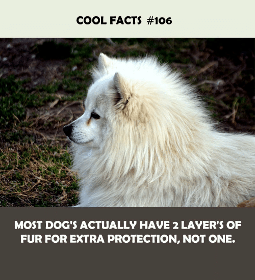 Cool Facts: COOL FACTS #106  MOST DOG'S ACTUALLY HAVE 2 LAYER'S OF  FUR FOR EXTRA PROTECTION, NOT ONE.