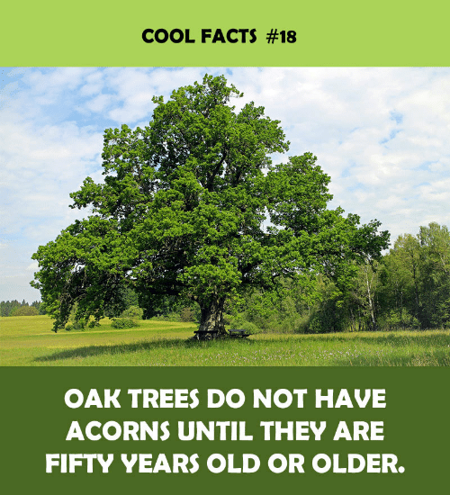 Cool Facts: COOL FACTS #18  OAK TREES DO NOT HAVE  ACORNS UNTIL THEY ARE  FIFTY YEARS OLD OR OLDER.