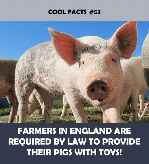 Cool Facts: COOL FACTS #53  FARMERS IN ENGLAND ARE  REQUIRED BY LAW TO PROVIDE  THEIR PIGS WITH TOYS!