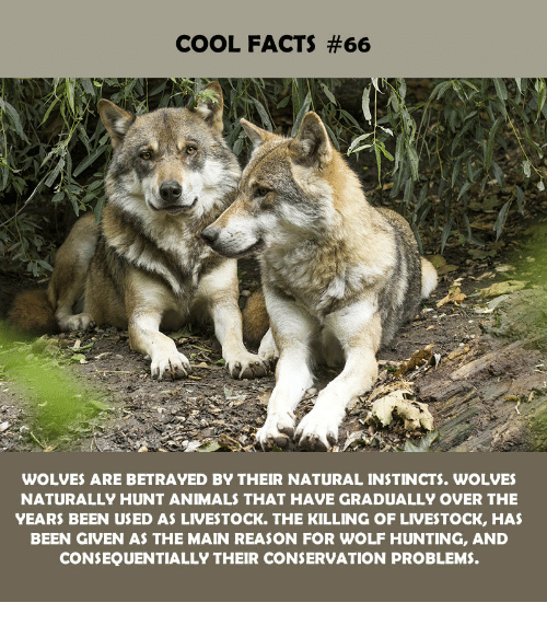 Animals, Facts, and Hunting: COOL FACTS #66  WOLVES ARE BETRAYED BY THEIR NATURAL INSTINCTS. WOLVES  NATURALLY HUNT ANIMALS THAT HAVE GRADUALLY OVER THE  YEARS BEEN USED AS LIVESTOCK. THE KILLING OF LIVESTOCK, HAS  BEEN GIVEN AS THE MAIN REASON FOR WOLF HUNTING, AND  CONSEQUENTIALLY THEIR CONSERVATION PROBLEMS.