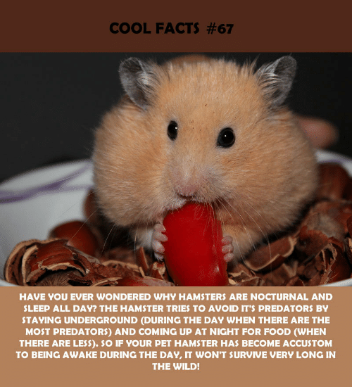 nocturnal: COOL FACTS #67  HAVE YOU EVER WONDERED WHY HAMSTERS ARE NOCTURNAL AND  SLEEP ALL DAY? THE HAMSTER TRIES TO AVOID IT'S PREDATORS BY  STAYING UNDERGROUND (DURING THE DAY WHEN THERE ARE THE  MOST PREDATORS) AND COMING UP AT NIGHT FOR FOOD (WHEN  THERE ARE LESS). SO IF YOUR PET HAMSTER HAS BECOME ACCUSTOM  TO BEING AWAKE DURING THE DAY, IT WON'T SURVIVE VERY LONG IN  THE WILD!