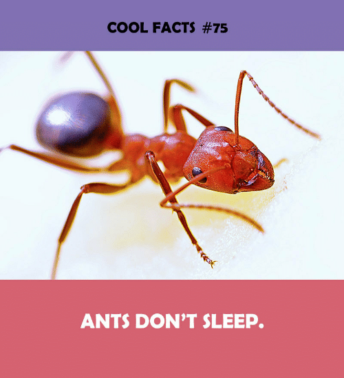 Cool Facts: COOL FACTS #75  ANTS DON'T SLEEP.