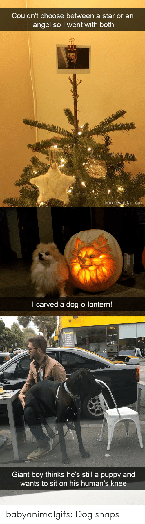heels: Couldn't choose between a star or an  angel so l went with both  boredpanda.com   I carved a dog-o-lantern!   386  TYRES  9525 2777  HEELS  Giant boy thinks he's still a puppy and  wants to sit on his human's knee babyanimalgifs:  Dog snaps