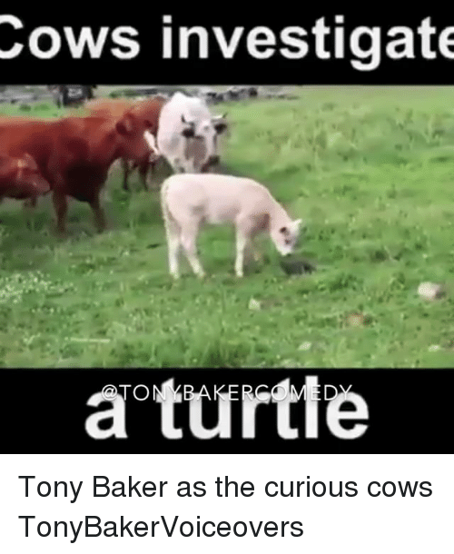 Turtling: Cows investigate  a turtle Tony Baker as the curious cows TonyBakerVoiceovers