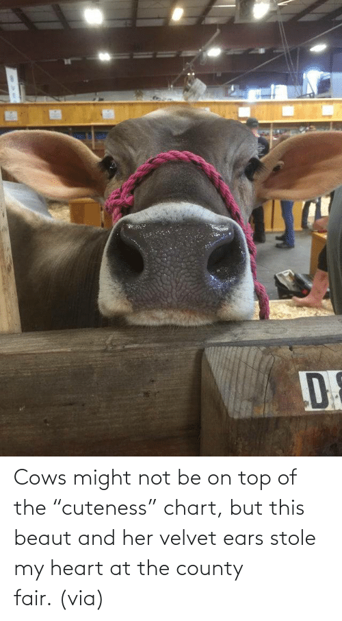 "cows: Cows might not be on top of the ""cuteness"" chart, but this beaut and her velvet ears stole my heart at the county fair. (via)"