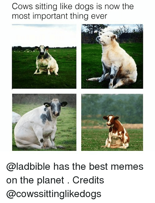 Dogs, Funny, and Memes: Cows sitting like dogs is now the  most important thing ever @ladbible has the best memes on the planet . Credits @cowssittinglikedogs
