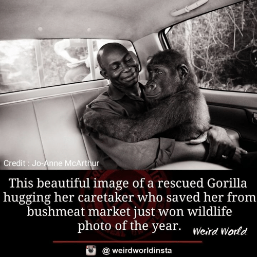 Beautiful, Memes, and Weird: Credit: Jo-Anne McArthur  This beautiful image of a rescued Gorilla  hugging her caretaker who saved her from  bushmeat market just won wildlife  photo of the year. Weird World  weirdworldinsta