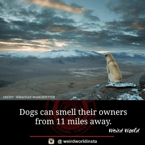 Dogs, Memes, and Smell: CREDIT: SEBASTIAN WAHLHUETTER  Dogs can smell their owners  from 11 miles away  Weird World  @ weirdworldinsta