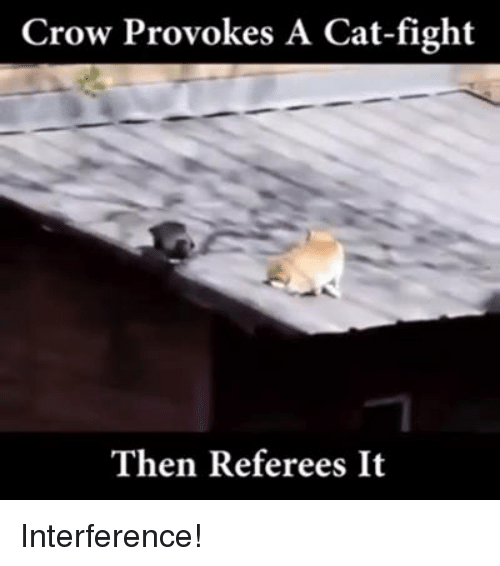 cat fighting: Crow Provokes A Cat-fight  Then Referees It Interference!