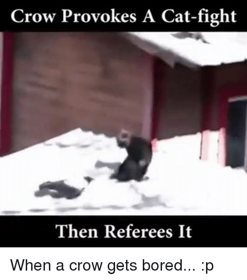 cat fighting: Crow Provokes A Cat-fight  Then Referees It When a crow gets bored... :p