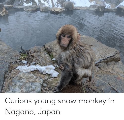 Young: Curious young snow monkey in Nagano, Japan