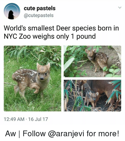 Pastels: cute pastels  @cutepastels  World's smallest Deer species born in  NYC Zoo weighs only 1 pound  12:49 AM-16 Jul 17 Aw | Follow @aranjevi for more!