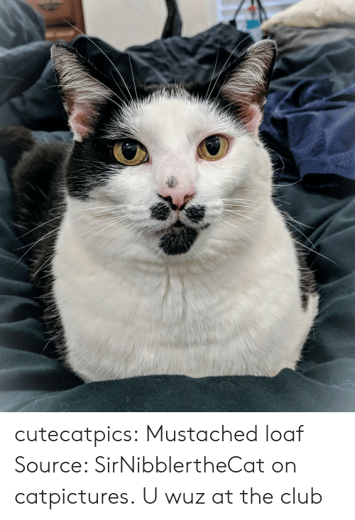 Wuz: cutecatpics:  Mustached loaf Source: SirNibblertheCat on catpictures.  U wuz at the club