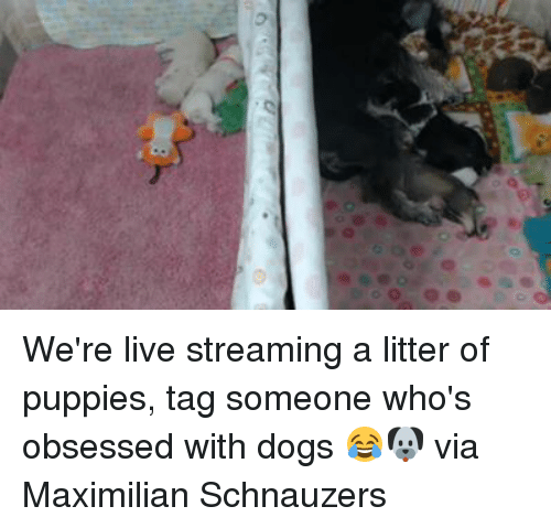 Dank, Puppies, and Live: D  00, @@ We're live streaming a litter of puppies, tag someone who's obsessed with dogs 😂🐶  via Maximilian Schnauzers