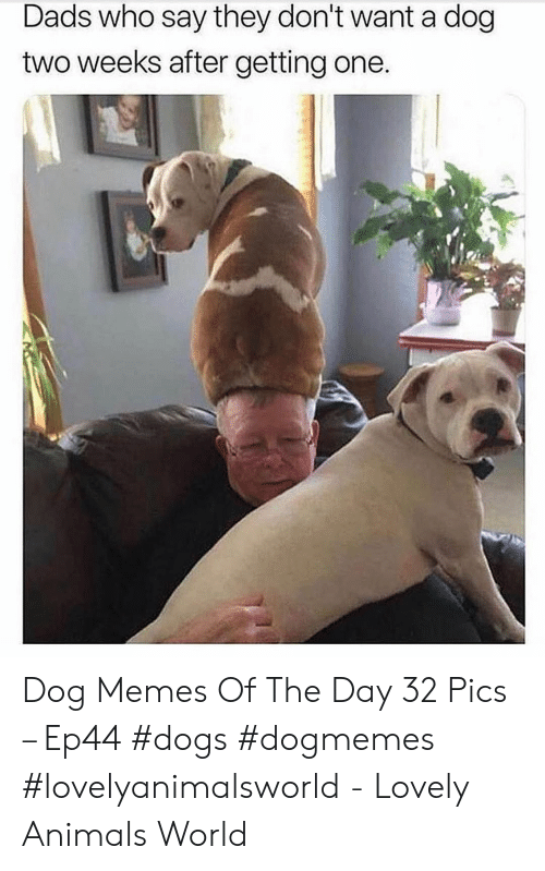 Animals, Dogs, and Memes: Dads who say they don't want a dog  two weeks after getting one Dog Memes Of The Day 32 Pics – Ep44 #dogs #dogmemes #lovelyanimalsworld - Lovely Animals World
