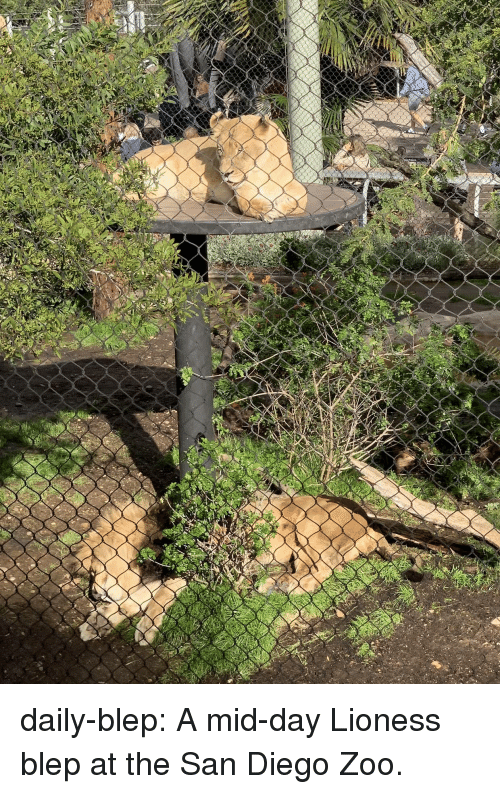 lioness: daily-blep:  A mid-day Lioness blep at the San Diego Zoo.