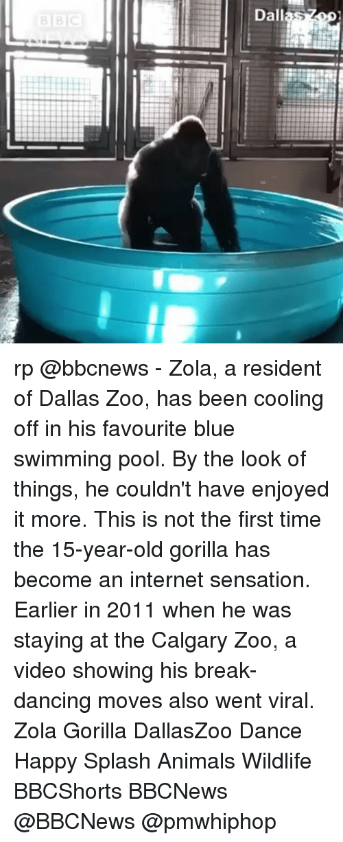 cooling-off: Dallas rp @bbcnews - Zola, a resident of Dallas Zoo, has been cooling off in his favourite blue swimming pool. By the look of things, he couldn't have enjoyed it more. This is not the first time the 15-year-old gorilla has become an internet sensation. Earlier in 2011 when he was staying at the Calgary Zoo, a video showing his break-dancing moves also went viral. Zola Gorilla DallasZoo Dance Happy Splash Animals Wildlife BBCShorts BBCNews @BBCNews @pmwhiphop