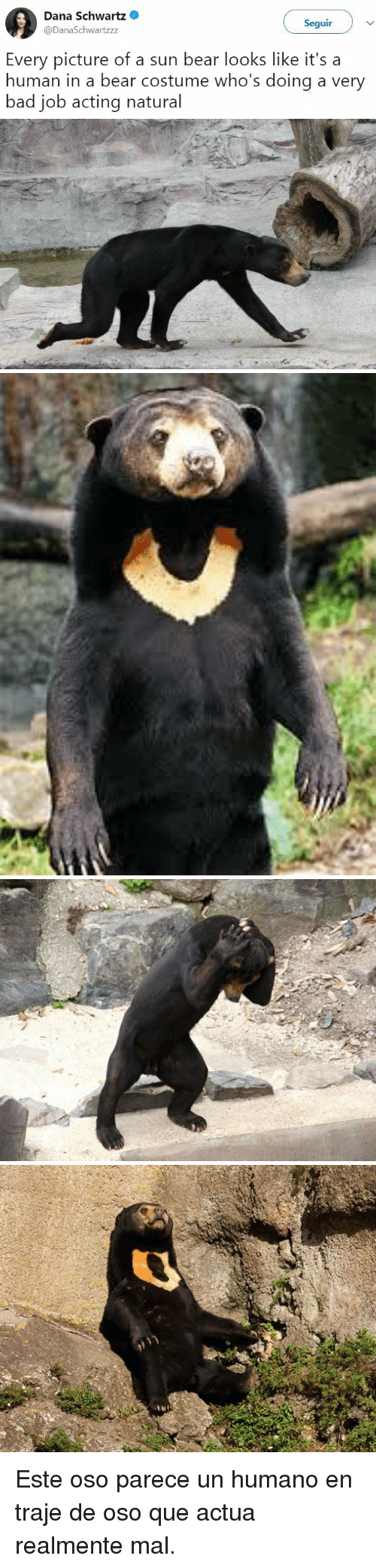 Bad, Bear, and Acting: Dana Schwartz  @DanaSchwartzzz  Seguir  Every picture of a sun bear looks like it's a  human in a bear costume who's doing a very  bad job acting natural <p>Este oso parece un humano en traje de oso que actua realmente mal.</p>