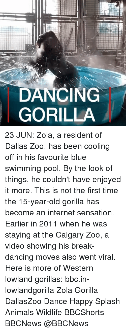 cooling-off: DANCING  GORILLA 23 JUN: Zola, a resident of Dallas Zoo, has been cooling off in his favourite blue swimming pool. By the look of things, he couldn't have enjoyed it more. This is not the first time the 15-year-old gorilla has become an internet sensation. Earlier in 2011 when he was staying at the Calgary Zoo, a video showing his break-dancing moves also went viral. Here is more of Western lowland gorillas: bbc.in-lowlandgorilla Zola Gorilla DallasZoo Dance Happy Splash Animals Wildlife BBCShorts BBCNews @BBCNews
