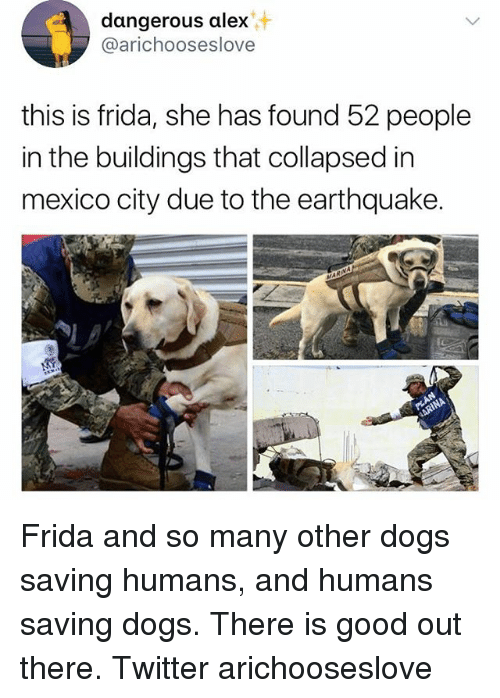 Dogs, Memes, and Twitter: dangerous alex  @arichooseslove  this is frida, she has found 52 people  in the buildings that collapsed in  mexico city due to the earthquake Frida and so many other dogs saving humans, and humans saving dogs. There is good out there. Twitter arichooseslove