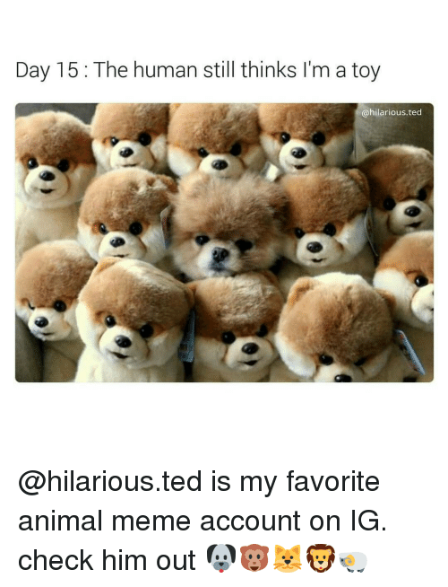 Animals Meme: Day 15 The human still thinks I'm a toy  @hilarious ted @hilarious.ted is my favorite animal meme account on IG. check him out 🐶🐵🐱🦁🐏