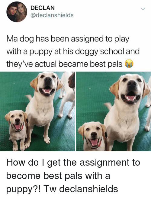 Memes, School, and Best: DECLAN  @declanshields  Ma dog has been assigned to play  with a puppy at his doggy school and  they've actual became best pals How do I get the assignment to become best pals with a puppy?! Tw declanshields