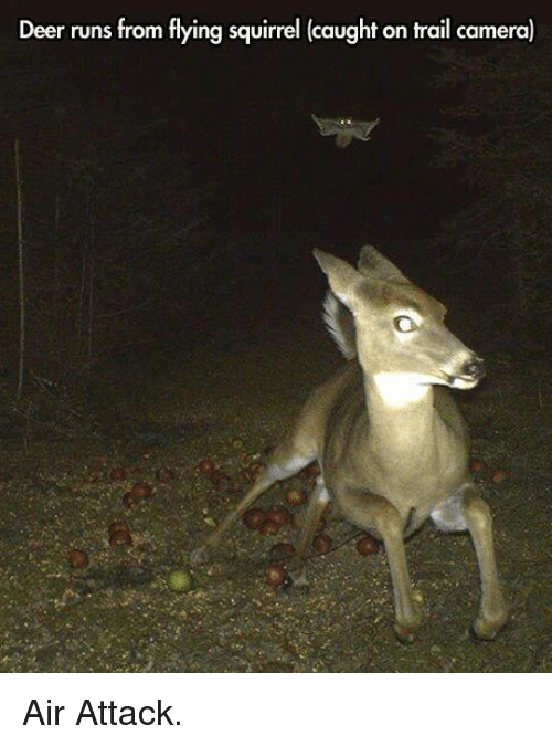Deer, Camera, and Squirrel: Deer runs from flying squirrel (caught on trail camera) <p>Air Attack.</p>