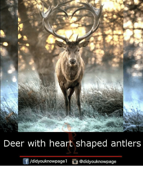 Deer, Memes, and Heart: Deer With heart shaped antlers  /didyouknowpage