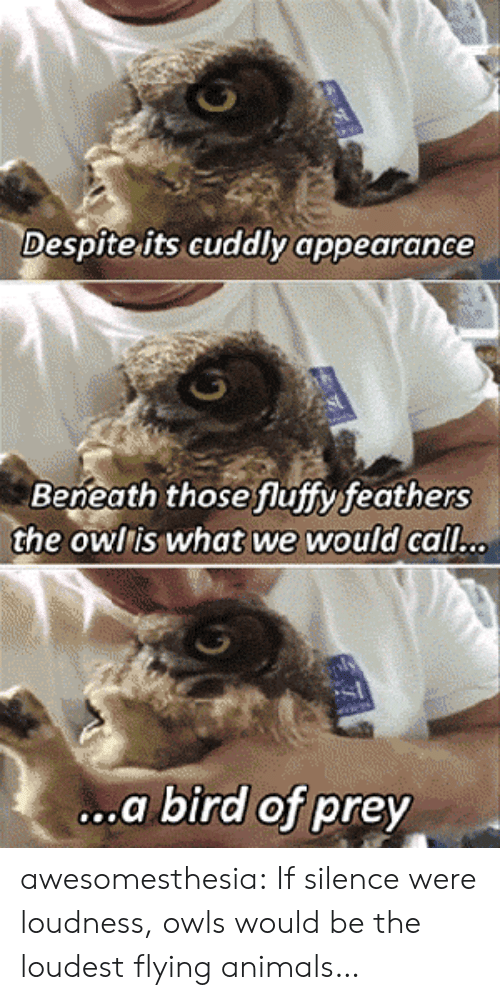 Animals, Tumblr, and Blog: Despite its cuddly appearance  Beneath those fluffyfeathers  the owlis what we would call.c.  .a bird of prey awesomesthesia:  If silence were loudness, owls would be the loudest flying animals…