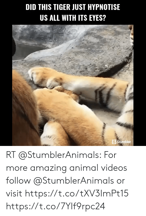 Animal Videos: DID THIS TIGER JUST HYPNOTISE  US ALL WITH ITS EYES?  S Stumbler RT @StumblerAnimals: For more amazing animal videos follow @StumblerAnimals or visit https://t.co/tXV3ImPt15 https://t.co/7YIf9rpc24