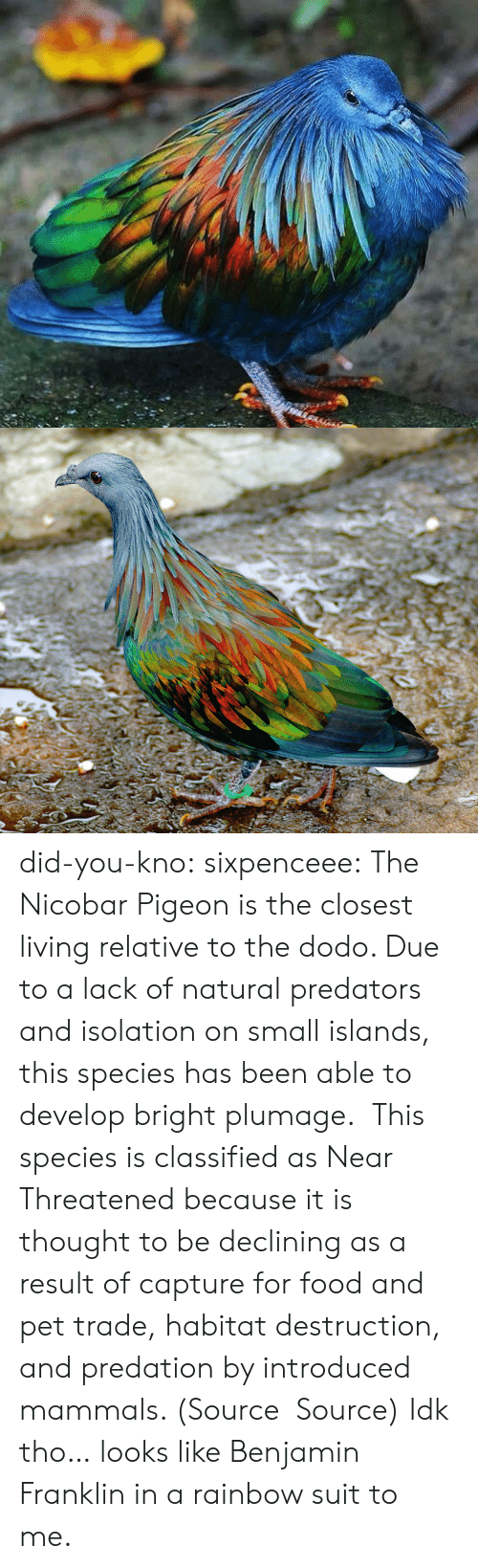 predation: did-you-kno:  sixpenceee:  The Nicobar Pigeonis the closest living relative to the dodo. Due to a lack of natural predators and isolation on small islands, this species has been able to develop bright plumage. This species is classified as Near Threatened because it is thought to be declining as a result of capture for food and pet trade, habitat destruction, and predation by introduced mammals. (Source Source)  Idk tho… looks like Benjamin Franklin in a rainbow suit to me.