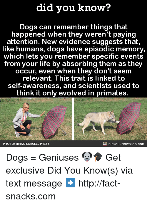 Primatism: did you know?  Dogs can remember things that  happened when they weren't paying  attention. New evidence suggests that,  like humans, dogs have episodic memory,  which lets you remember specific events  from your life by absorbing them as they  occur, even when they don't seem  relevant. This trait is linked to  self-awareness, and scientists used to  think it only evolved in primates.  DIDYOUKNOWBLOG.coM  PHOTO: MIRKO LUI/CELL PRESS Dogs = Geniuses 🐶🎓  Get exclusive Did You Know(s) via text message ➡ http://fact-snacks.com
