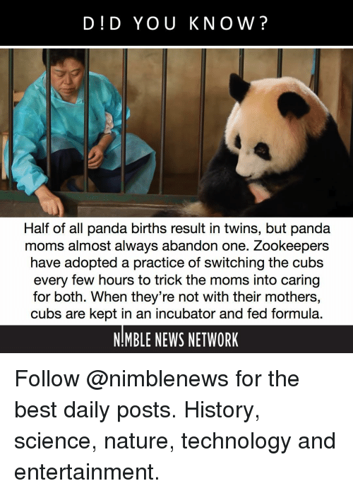 The Moms: DID YOU KNOW?  Half of all panda births result in twins, but panda  moms almost always abandon one. Zookeepers  have adopted a practice of switching the cubs  every few hours to trick the moms into caring  for both. When they're not with their mothers,  cubs are kept in an incubator and fed formula.  NIMBLE NEWS NETWORK Follow @nimblenews for the best daily posts. History, science, nature, technology and entertainment.