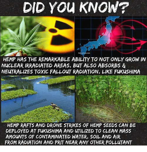 Prit: DID YOU KNOW?  HEMP HAS THE REMARKABLE ABILITY TO NOT ONLY GROW IN  NUCLEAR IRRADIATED AREAS, BuT ALSO ABSORBS  NEUTRALIZES TOXIC FALLOUT RADIATION, LIKE FuKusHIMA  cousciousNES  HEMP RAFTS AND DRONE STRIKES OF HEMP SEEDS CAN BE  DEPLOYED AT FukusHIMA AND uTILIZED TO CLEAN MASS  AMOUNTS OF CONTAMINATED WATER, SOIL AND AIR  FROM RADIATION AND PRIT NEAR ANY OTHER POLLuTANT