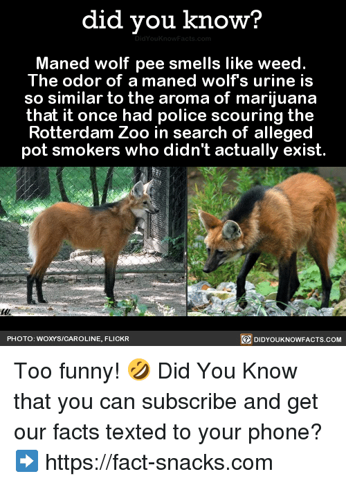 urinals: did you know?  Maned wolf pee smells like weed.  The odor of a maned wolfs urine is  so similar to the aroma of marijuana  that it once had police scouring the  Rotterdam Zoo in search of alleged  pot smokers who didn't actually exist  PHOTO: WOXYS/CAROLINE, FLICKR  DIDYOUKNOWFACTS.COM Too funny! 🤣  Did You Know that you can subscribe and get our facts texted to your phone? ➡ https://fact-snacks.com