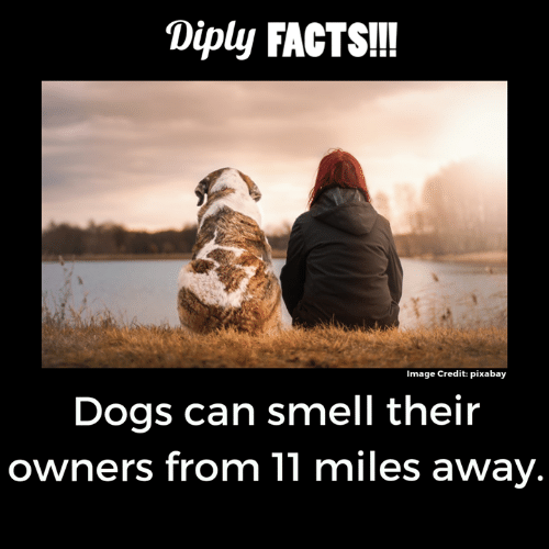 Dogs, Facts, and Memes: Diply FACTS!!!  Image Credit: pixabay  Dogs can smell their  owners from 11 miles away.