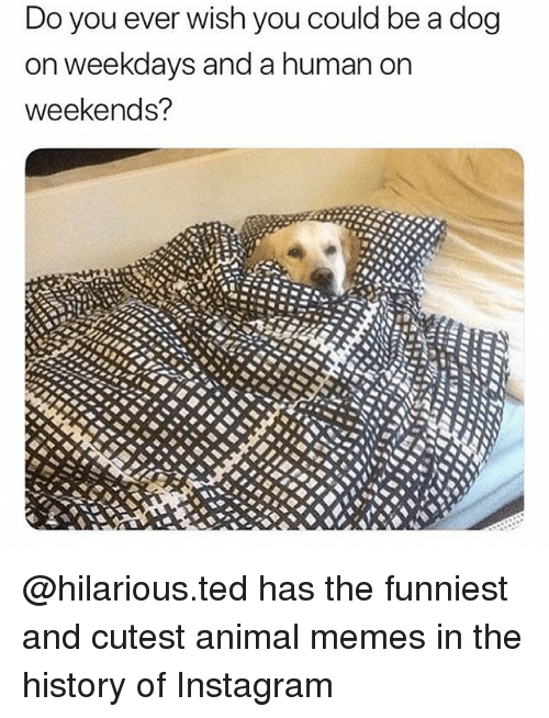Instagram, Memes, and Ted: Do you ever wish you could be a dog  on weekdays and a human on  weekends? @hilarious.ted has the funniest and cutest animal memes in the history of Instagram