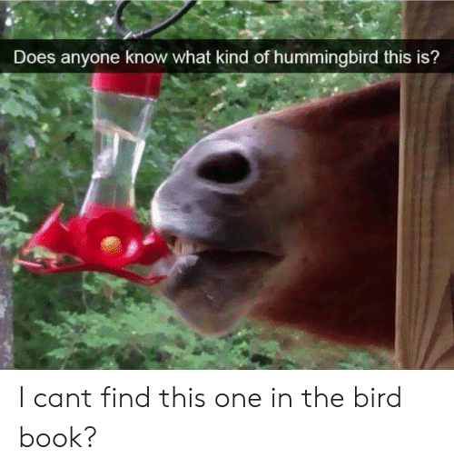 Hummingbird: Does anyone know what kind of hummingbird this is? I cant find this one in the bird book?
