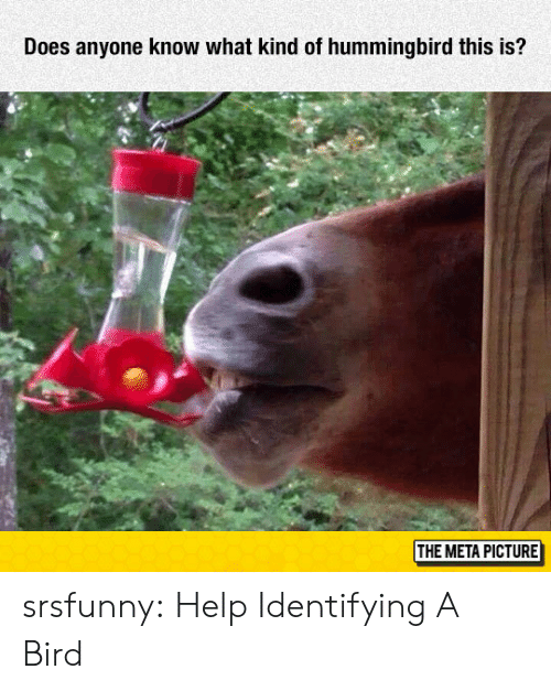 Hummingbird: Does anyone know what kind of hummingbird this is?  THE META PICTURE srsfunny:  Help Identifying A Bird