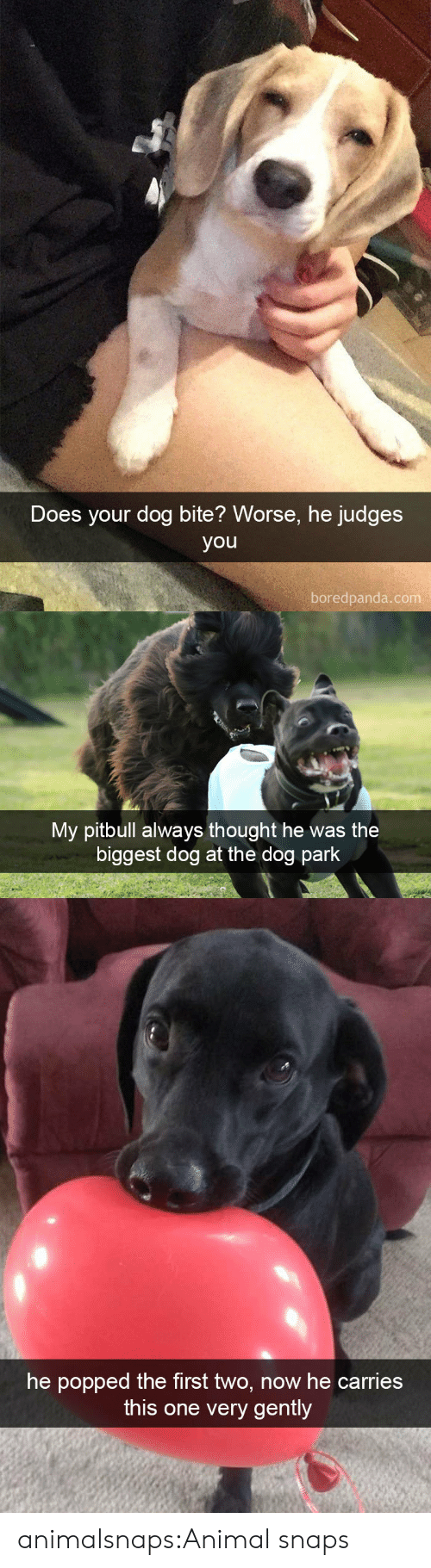 Dog Bite: Does your dog bite? Worse, he judges  you  boredpanda.com   My pitbull always thought he was the  biggest dog at the dog park   he popped the first two, now he carries  this one very gently animalsnaps:Animal snaps