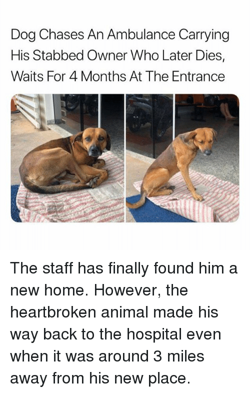 Funny, Animal, and Home: Dog Chases An Ambulance Carrying  His Stabbed Owner Who Later Dies,  Waits For 4 Months At The Entrance The staff has finally found him a new home. However, the heartbroken animal made his way back to the hospital even when it was around 3 miles away from his new place.
