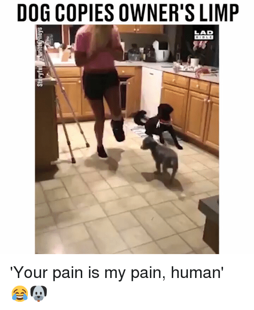 Memes, Pain, and 🤖: DOG COPIES OWNER'S LIMP  LAD 'Your pain is my pain, human' 😂🐶